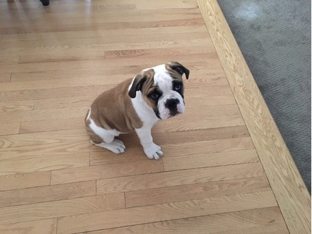 Olde English Bulldogge for Sale-10 weeks old